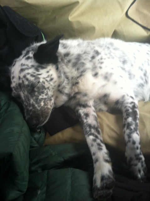 A tired Blue Heeler - is that even possible